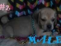 These are super fun puggle puppies - which are a cross