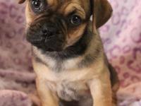 Hello world! I am an 8 week old puggle. My momma calls