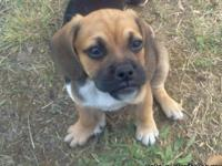 I have an adorable litter of puggle puppies that are