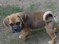 I have 5 adorable puggle puppies available. There are 3