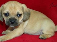 We have 5 outstanding puggle puppies! 3 Boys and 2