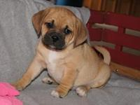 Household raised puggle puppies. 1st generation. Moms