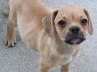 3 male puggle puppies ready for new home now. very
