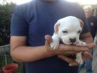 I have three female puggle mix puppies 8 weeks old