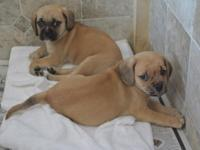 Hi, I have 2 Puggle babies available. 1 male and 1