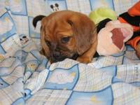 Household raised puggle puppies for sale more photos on