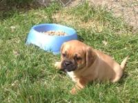 We Have 3 extremely sweet Puggle Puppies 1 boy and 2