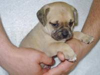 PeeWee size puggles. All first generation, we cross the