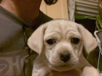 Helo I have 4 puggle puppies for sale. They are 8 weeks