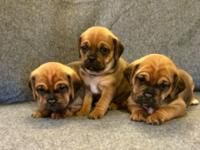 I've got two males and three female Puggles for sale