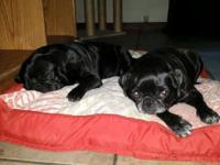 Two Litters Of Puginese - Plenty to chose from -