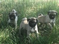 I have an adorable litter of six, nine week old, pug