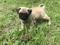 Pugs Two registered female pugs available. They are