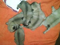 i have 8 puppies for sale, 5 of them are purebreed