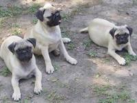 Pug puppies, 2 female, 1 neutered male, born 7/5/13. 1