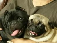 I have 2 adorable pugs for sale. 1 Fawn and Black