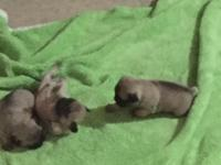 Pug puppy 2 females 800.00 each 1male 1000.00 Mom and