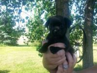 I have a female Pugshire ( mommy is a black pug daddy