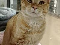 Pugsley's story Primary Color: Orange Tabby Weight: