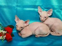 Punctual Sphynx Kittens The kittens are 12 weeks old,