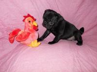 STRONG BLACK PUG PUPPIES. Female & & male readily