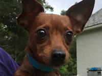 Pup Tart's story Precious Chi Weenie is 8 lbs of LOVE!