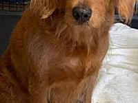 My story I am a female Labradoodle. I was born on