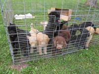 10 puppies to pick from. Black, Apricot and CHOCOLATE