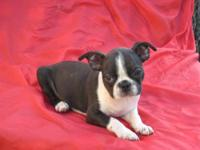 We have a nice selection of Boston Terrier puppies to