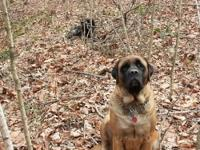 2 Female English Mastiff puppies for sale. Colors, Fawn