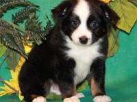 Gorgeous AKC Australian Shepherd puppies (ALL COLORS)
