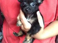 I have 3 chihuahua young puppies trying to find their