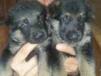 Hello i have 7 female's and 3 male german shepherd