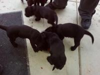 Labloodhound young puppies for sale. First shots
