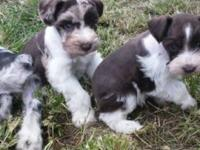 Miniature schnauzers puppies 6-16lbs when grown- a