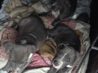 full breed blue nose pitbull puppies 2 boys and 1 girl