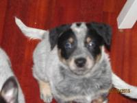 I have 5 Australian Cattle Dogs for sale 4 females 1