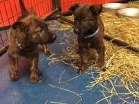 Dutch Shepherd puppies 6 1/2 weeks old. 6 available all
