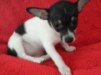 Small tricolor adorable ratterrier puppies, 7 wks old,