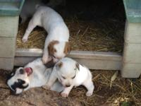 Red/Blue Australian Cattle Dog (Heeler) puppies for