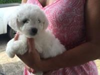 i have healthy Bichon Frise puppies ready for homes