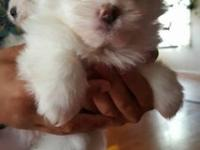 Born 9/26/15 2 Females and 2 Males Mother is a Shih tzu