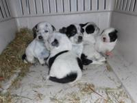 Blue heeler Puppies Puppies Will be ready for forever