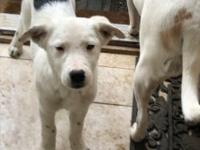 Puppies, Cattle Dog / Border Collie mix, 10 weeks old,