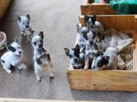 Purebred Heeler Puppies ready for there new homes $250