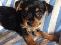 Adorable Chiweenie puppies for sale 8 weeks old girls