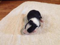 More picts at bcpups.weebly.com Pups were born on