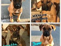 Puppies (boxer/shep. mix)'s story Johnny, Waylon, June