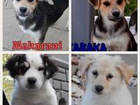 Puppies (Collie Mix)'s story This adorable group are 10