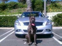 Cane corso Italian mastiffs blue tails docked duclawed